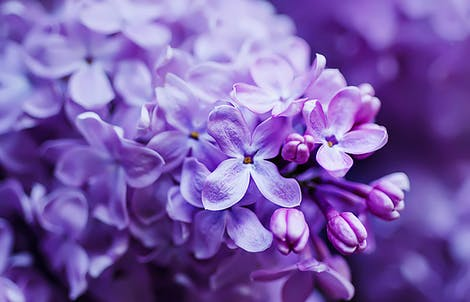 Photograph of lilacs