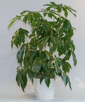 Schefflera Amate in Ceramic