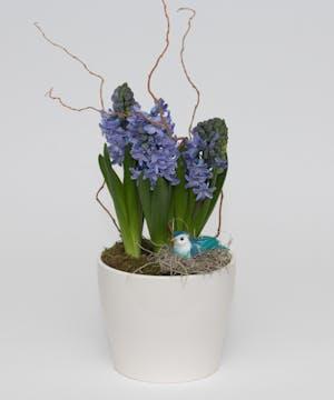 Bulb Plant - Hyacinth
