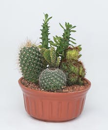Cacti in Terracotta