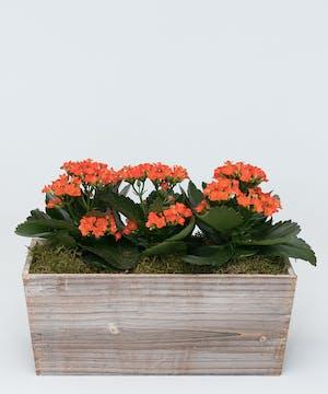 Charming Kalanchoe Planter