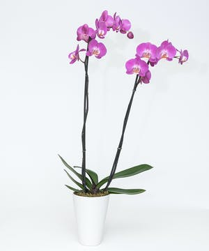 Double Stem Phalaenopsis Orchid Plant