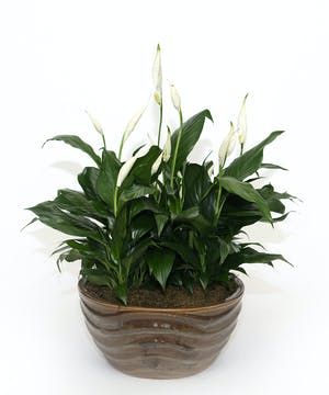 Peace Lily in Ceramic