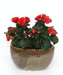 Begonia Planter