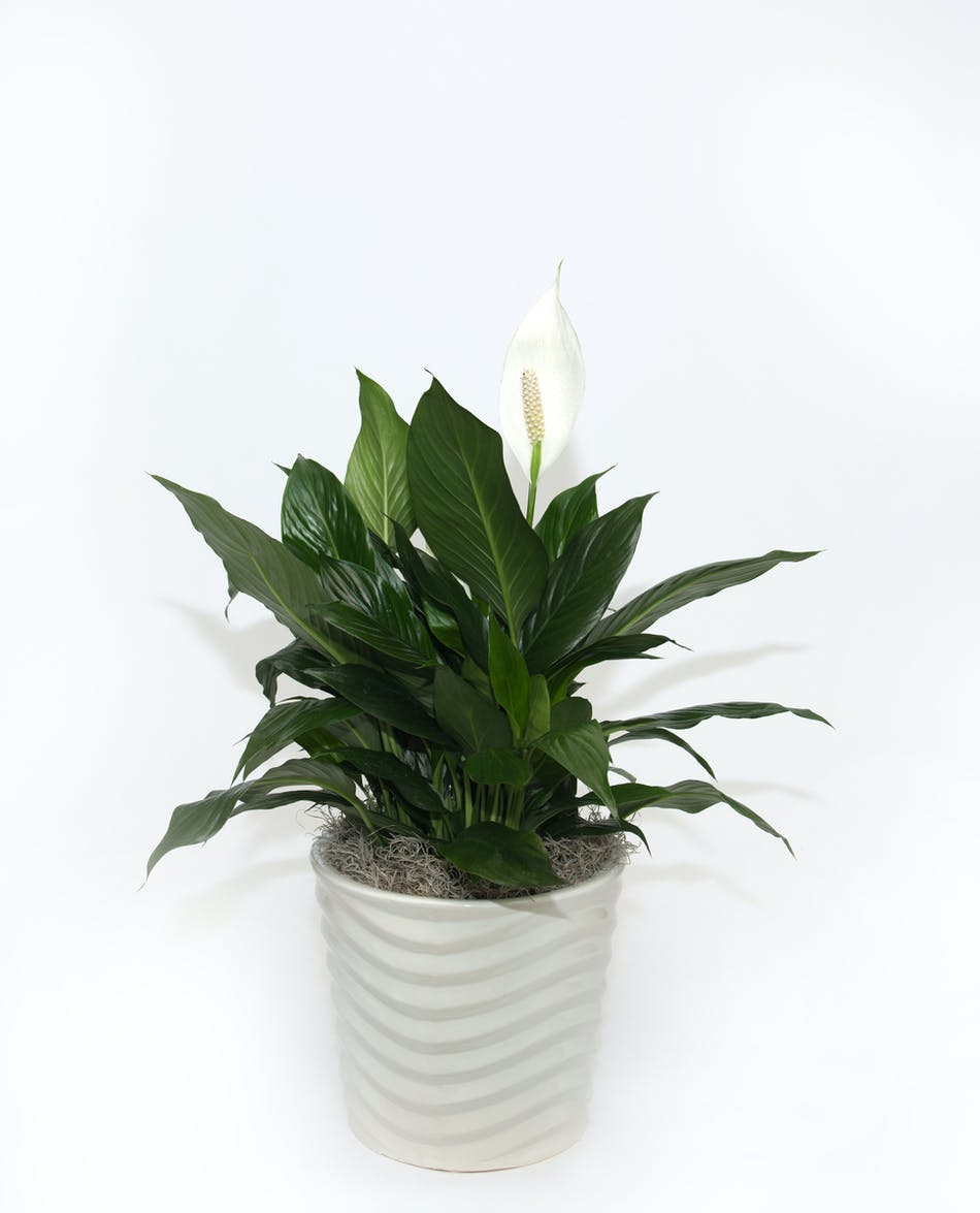 Peace Lily In Ceramic Eastern Floral Flower Delivery Grand