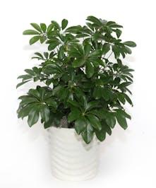 Schefflera Arboricola in Ceramic