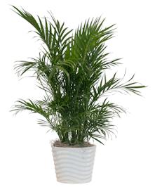 Cat Palm in Ceramic