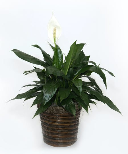Pederson Funeral Home Flower Delivery Eastern Floral